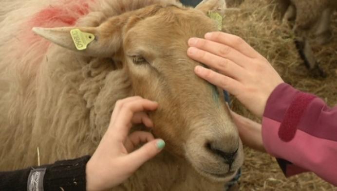 Lammetjes knuffelen en voederen