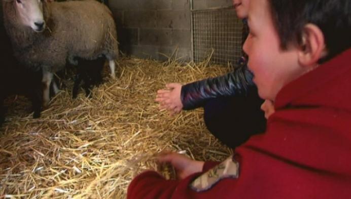Wit schaap werpt zwarte vierling