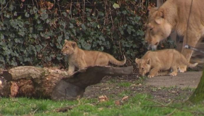 Leeuwtjes voorgesteld aan publiek in Planckendael