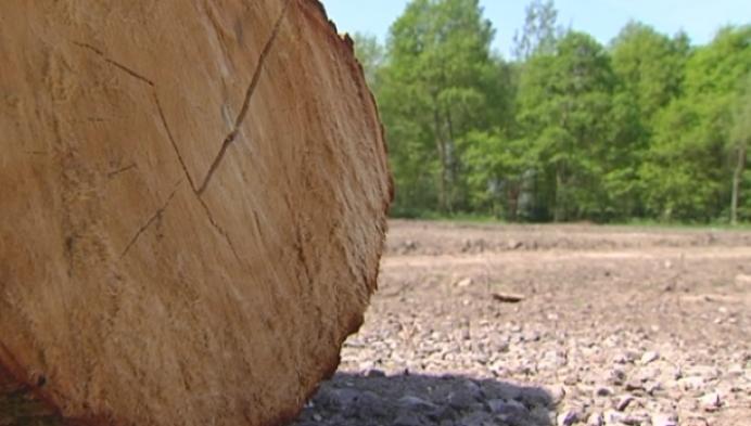 Tientallen bomen illegaal gekapt in Hingene