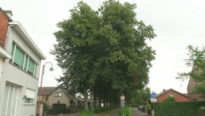 Geel beschermt oude lindebomen