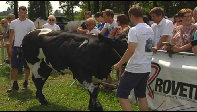 Knapste koeien verzamelen in Retie