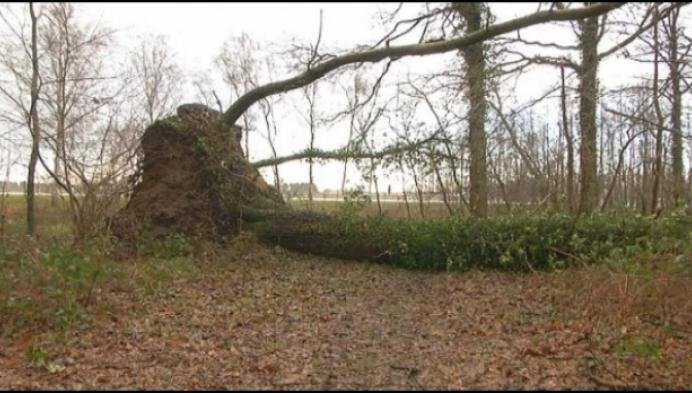 Winterstorm zorgt voor natuurlijke eliminatie in het bos