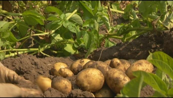Aardappelen hebben het zwaar