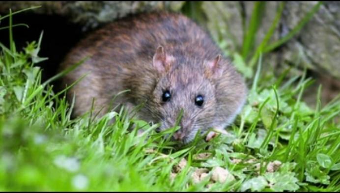 Dessel bindt strijd aan met bruine rat