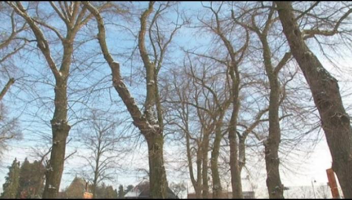 Oudste lindebomen in Olen moeten niet gekapt worden