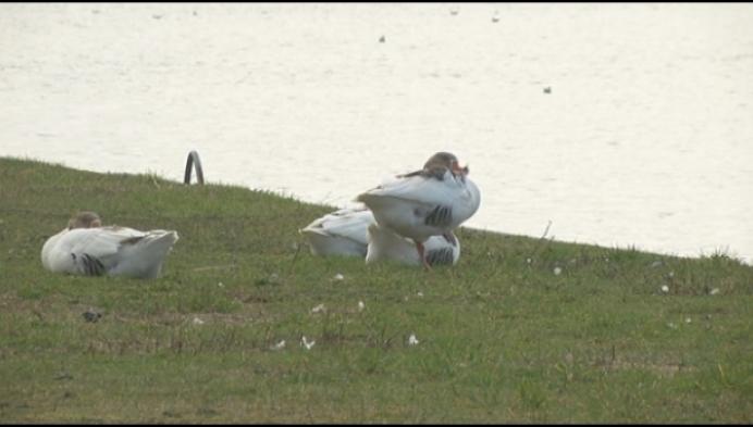 Agressieve ganzen aan vaart in Blaasveld