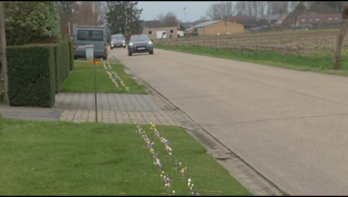 35.000 krokussen bloeien in Zoerle-Parwijs