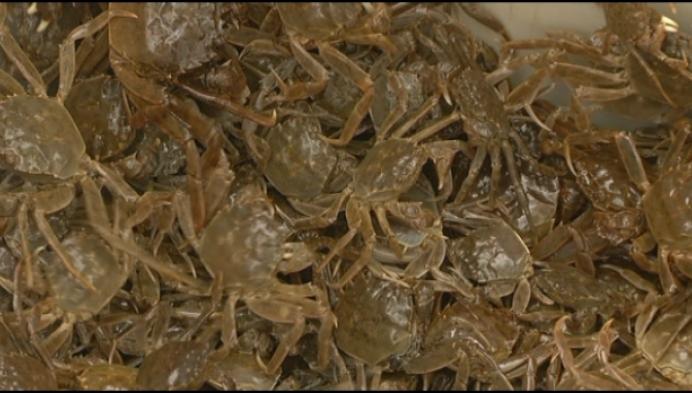 700 000 krabben gevangen in Kleine Nete
