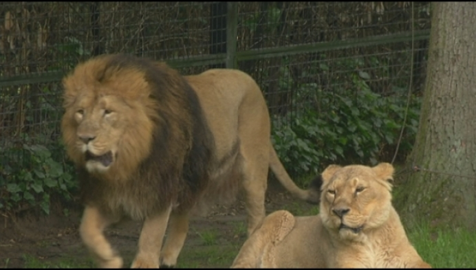 1 jaar na ontsnapping leeuwin in Planckendael