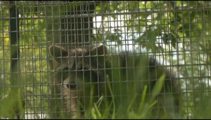 Natuurhulpcentrum vangt opnieuw wasberen in Duffel
