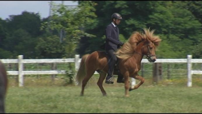 Bornem organiseert BK voor... Ijslandse paarden
