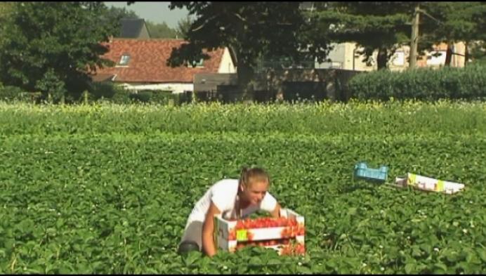Veel aardbeien maar telers krijgen er lagere prijs voor