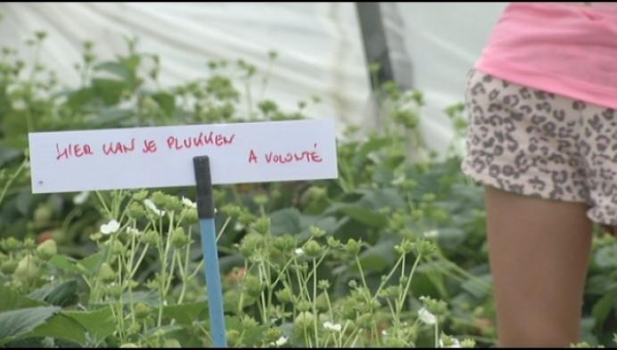 Nijlense aardbeien kennen '2de' seizoen door hittegolf