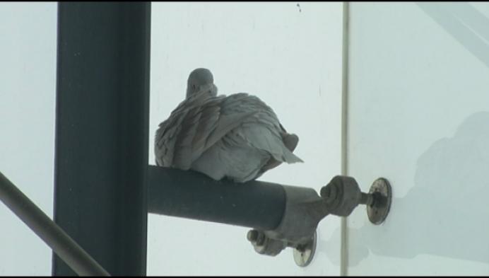 Herentals plaatst netten tegen duivenplaag aan buspaleis