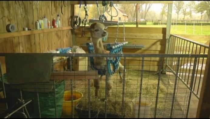 Verzorgers aangeklaagd nadat alpaca verlamd raakte door bliksem