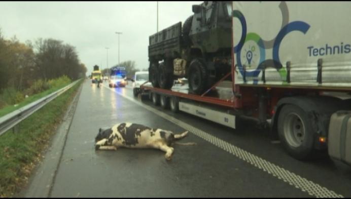 Koeien op de E313 aangereden