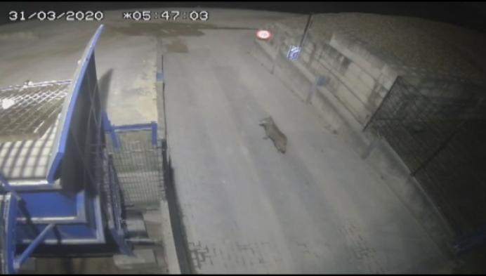 Meer wolven gespot door quarantainemaatregelen?