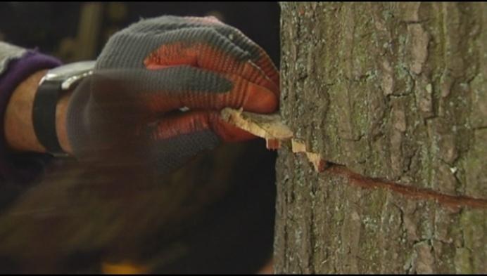 Experimentele behandeling voor bomen Liereman