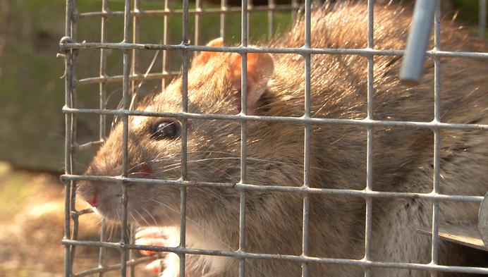 """Ratten in Olen: """"Hou dierenvoeding goed afgeschermd"""""""