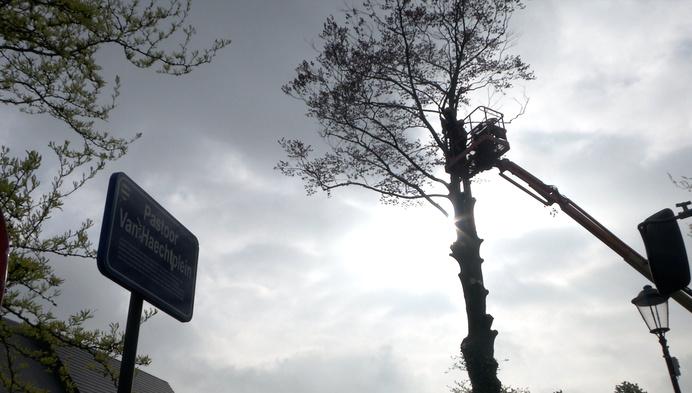 Meerhout wordt 'minderhout': bekende beuk op dorpsplein geveld